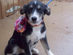 Bama is an adoptable Labrador Retriever Dog in Simsbury, CT. Bamba is a sweet 5 month old Lab/Border Collie mix female puppy. ?Bamba is beautiful with a black coat and white markings. ?Bamba has a fac...