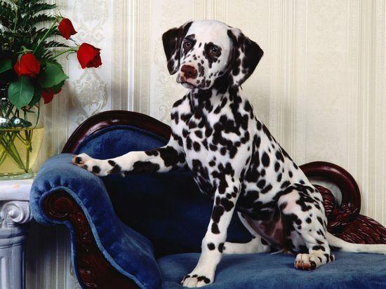 Dalmatian #Cute pet #pet girl #pet boy