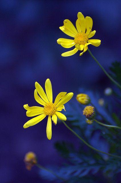 yellow daisies