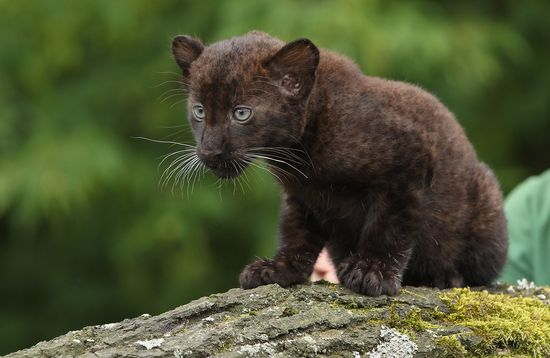 This baby panther doesn't understand why he's ranked this low on the list.