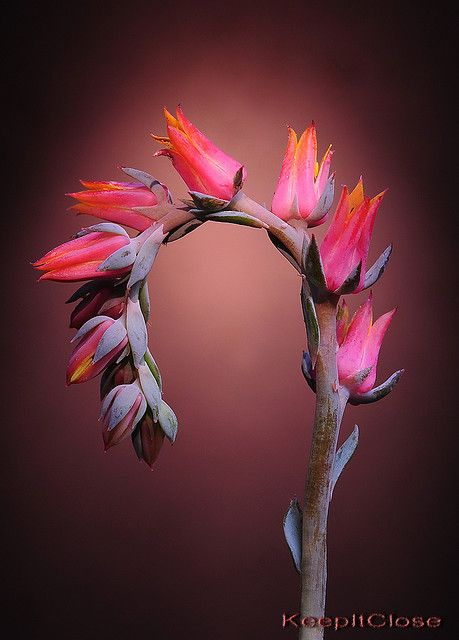 Succulent: Echeveria flower-spike