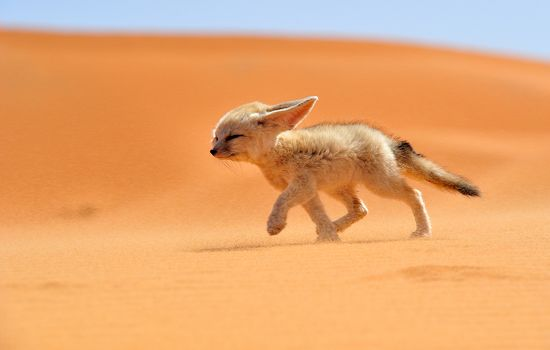 A fennec fox walks against the wind in Morocco. The fennec, or desert fox, is a small nocturnal fox found in the Sahara Desert in North Africa.