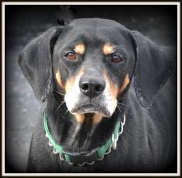 #OHIO #URGENT ~ Pepper is an #adoptable 7-10y/o Rottweiler Labrador Retriever American Black & Tan Coonhound dog in #Warren. VERY very sweet, and so pretty! At first we thought she might be pregnant but she is NOT. Available for #rescue 2/5/13.  Must be 18y/o or older to #adopt. ~~ TRUMBULL COUNTY DOG POUND    7501 Anderson   Warren, OH 44484     Phone: 330-675-2787 email mailto:dgsmith@co...
