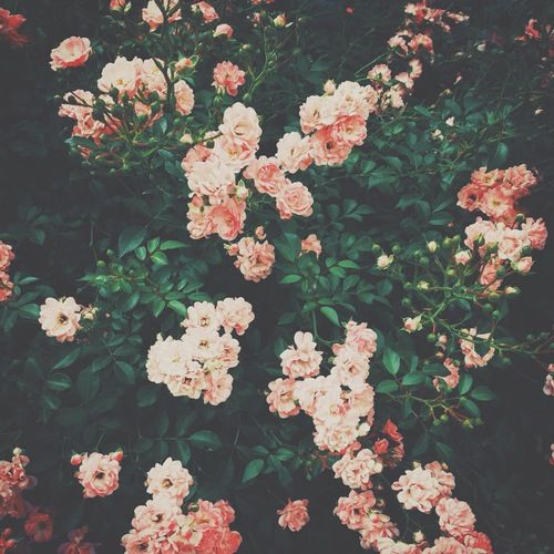 // salmon colored roses //