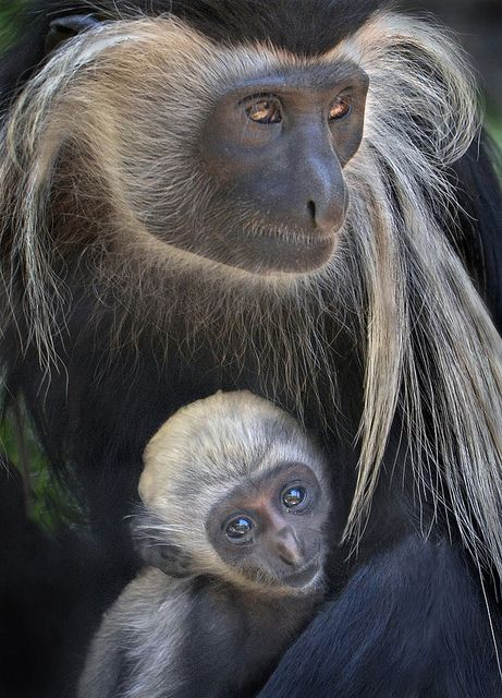 Primate - Mother's Protection
