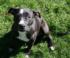 Moonlight is an adoptable Pit Bull Terrier Dog in Mansfield, OH. Meet Moonlight...she came in as a stray on 10/2/12....we all thought she was just a pup but after looking at her teeth we think she is...