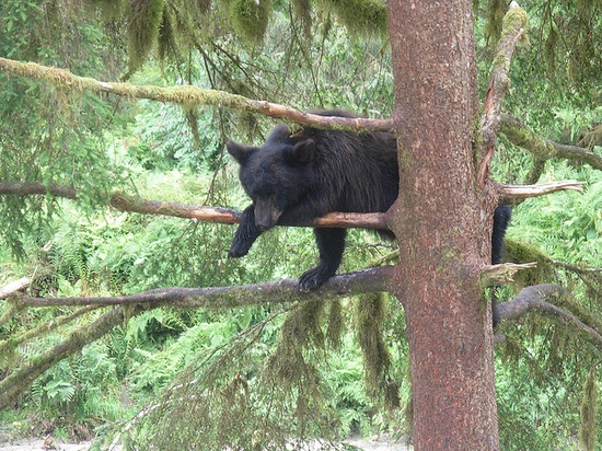 Black Bear in a tree - Anan Bay, Alaska      if you think you can climb a tree to get away from a bear, think again. This bear was 6meters (20 feet) up the tree, and later took a nap up there. A ranger told us that this bear, was spending it's first year away from its mother. It was in the tree to wait until the other, larger bears were done fishing for salmon at the falls.
