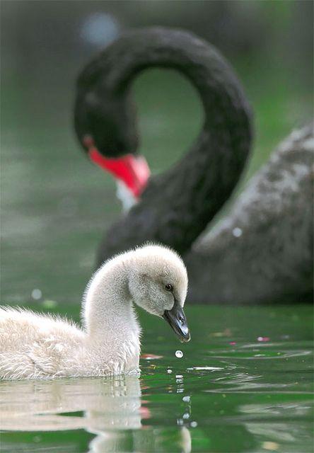 Black Swan by John, via Flickr