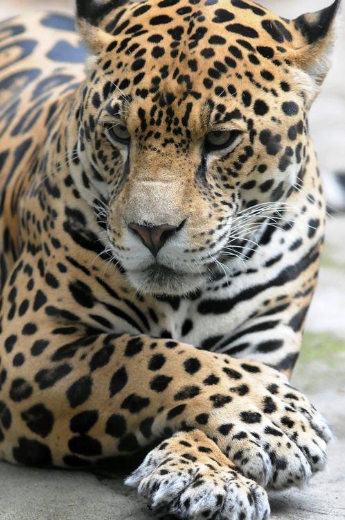 Jaguar - exquisite, no?