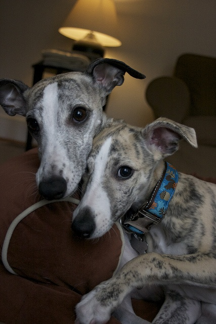 Kevin Harris's Tango (Timbreblue Whippets) & Kody (Marnay Whippets)