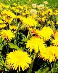 TEA RECIPES - Medicinal Dandelion tea  This is a VERY STRONG BREW for internal organ health