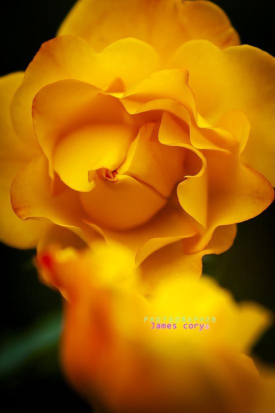 Gold Rose ?