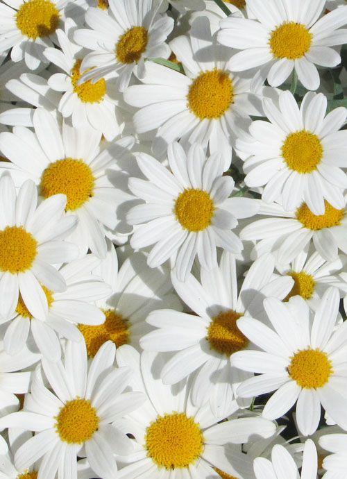 Daisy dots.