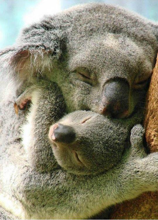 Koala-hugs immediately improve ANY day.
