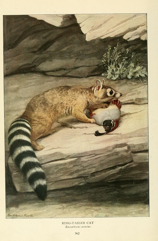 Wild animals of North America  Washington, D.C.,The National geographical society[c1918]  Biodivlibrary. BHL. Biodiversity Heritage Library  blog.biodiversity...