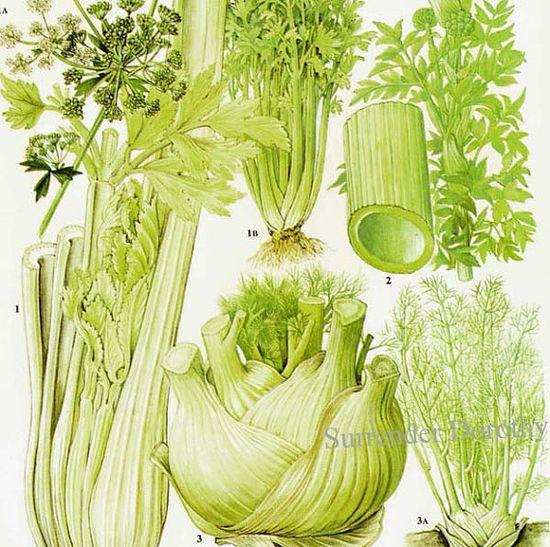 Fennel Celery Angelica Salad Plant Flowers Food Chart Vegetable Botanical Lithograph Illustration For Your Vintage Kitchen 149
