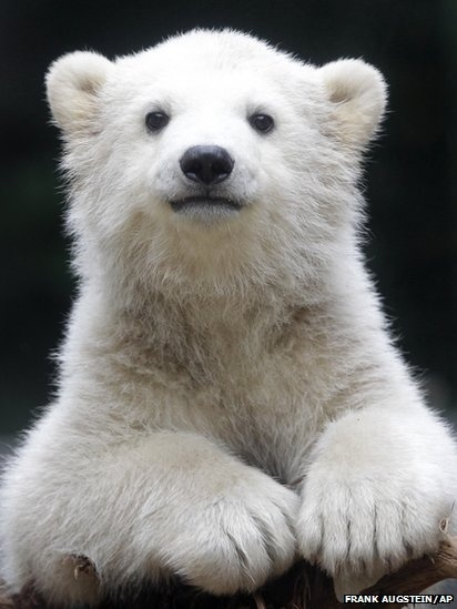 Polar bear cub Anori explores the outdoor enclosure of the zoo in Wuppertal, Germany. #baby #animals #photography
