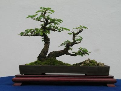 ~ Mimosa Bonsai information.  Shows Mimosa in slant position. ~  www.bonsaimary.co...