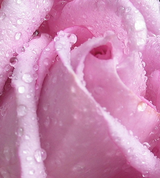 wickedly wet rose