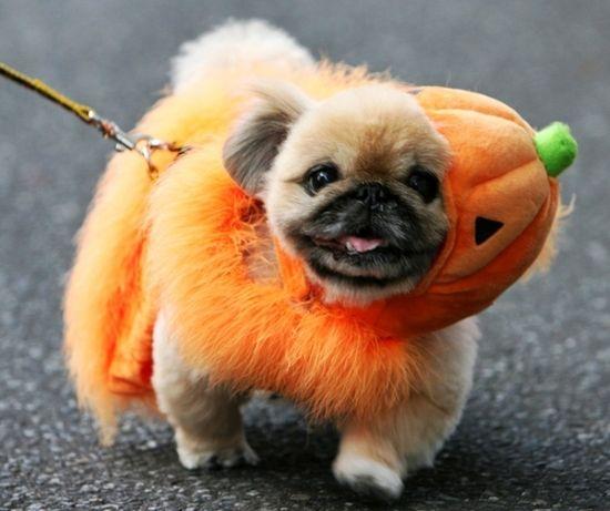 Fuzzy Puggy Pumpkin