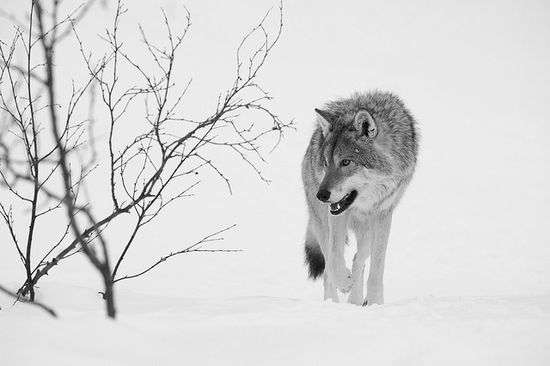 wolf in the winter