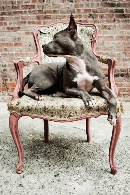 American Pit Bull Terrier #Pitbulls #Dogs #Puppy