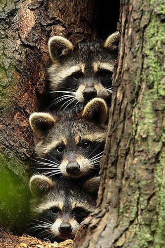 1...2...3... trio its a mommy daddy and baby - it's the 3 raccoons not the 3 bears I always knew they got that fairy tale wrong! #wild #animals