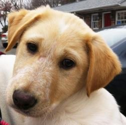 John is an adoptable Golden Retriever Dog in Matawan, NJ. Meet John. He is an adorable little golden/lab mix. Him and his sister were dumped at a gassing shelter in NC on Thanksgiving :( He is 10-12 w...