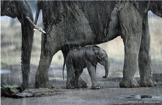 Grown Elephant shelters the baby from the rain. #wild #animals