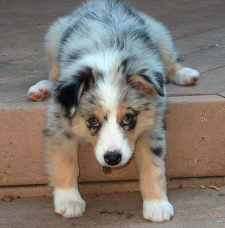 Australian Sheppard Puppy