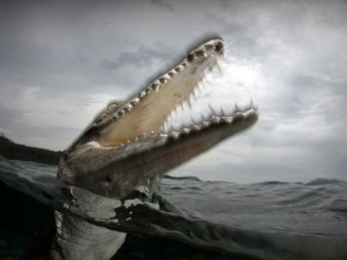 animals who eat people -  Saltwater Crocodile  Photograph by Yeang Chng  A saltwater crocodile lunges for the camera.  This photo was taken just before its jaws closed on the lens shade; the blurred outline of the jaws demonstrate the lightening-fast nature of its lunge.
