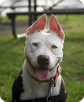 Diamond is a Pit Bull available for adoption in Oakland, CA: www.adoptapet.com...