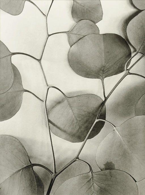 Alma Lavenson   Eucalyptus Leaves, 1933