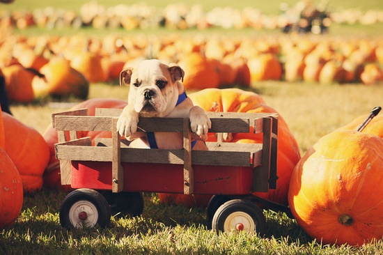Baby Thor #pumpkins #patch #farm #fall #autumn #cute #dogs #puppies #bulldog #English #pets #animals