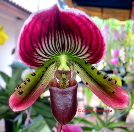 Lady Slipper Orchid Paphiopedilum Hsinying Pitch
