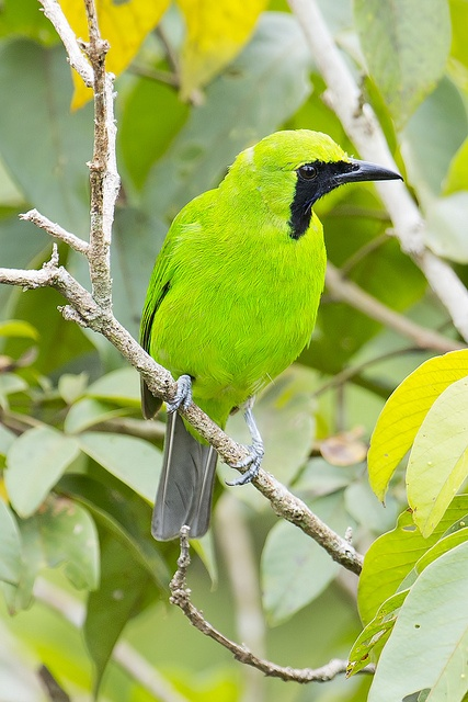 Greater Green Leafbird Male (Chloropsis sonnerati)