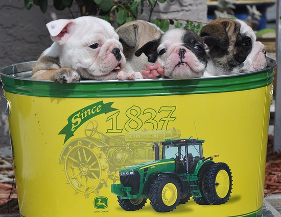 So, so preshtastically ador-a-bull x 4! #John_Deer #tractor #tub #cute #dogs #puppies #bulldog #English #pets #animals #sleeping