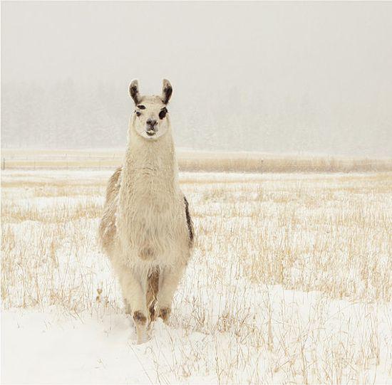 Animal Photography Llama in the Snow 10x10 by lucysnowephotography