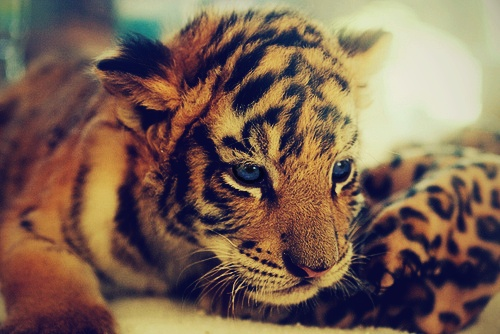 Baby tiger :)