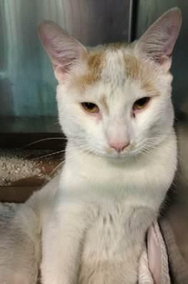 7 year old Farrow needs out of NYCACC NOW!!! SUPER URGENTS- NEED OUT NOW! SUPER URGENTS- NEED OUT NOW! FARROW - ID#A0964761 (NEW PIC) I am an unaltered male, white and tan American Shorthair mix. The shelter staff think I am about 7 years old. I weigh 9 pounds. I was found in NY 11234. I have been at the shelter since May 09, 2013. MALE, WHITE / TAN, AMER SH MIX,7 yrs STRAY - STRAY WAIT, NO HOLD Reason STRAY Intake condition NONE Intake Date 05/09/2013, From NY 11234, DueOut Date 05/12/2013,