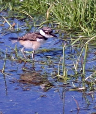 Killdeer chick wading in the water ?