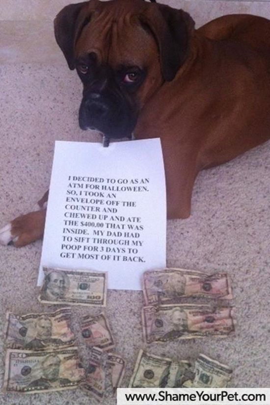 """I decided to go as an ATM for Halloween. So I took the envelope off the counter and chewed up and ate the $400.00 that was inside. My dad had to sift through my poop for 3 days to get most of it back."" ~ Dog Shaming Boxer   Funny Picture Dump Of The Day – 53 Pics"