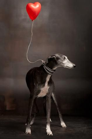 .Whippet mon amour