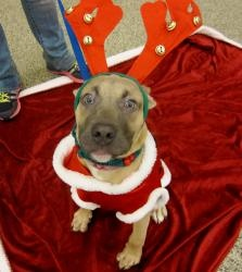 TRUE is an adoptable Pit Bull Terrier Dog in Boston, MA. True A273847 4 Months Old Male Arrival Date: 11/27/12 My ideal home would be: With owners who can spend tons of time working with me. I am one ...