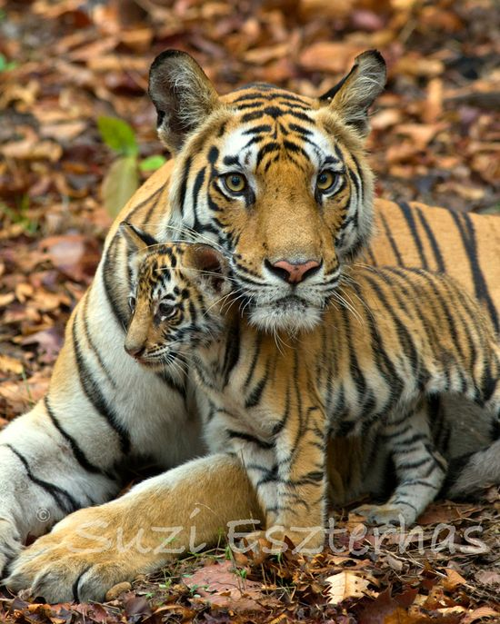 BABY TIGER and MOM Photo, 8 X 10 Print, Baby Animal Photograph, Wildlife Photography, Wall Decor, Nursery Art, Safari, Animal Photography, via Etsy.