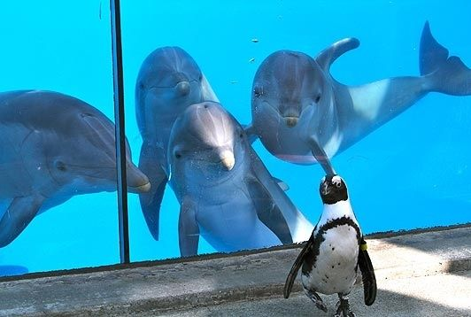 Dolphins seeing their first penguin...this is too cute