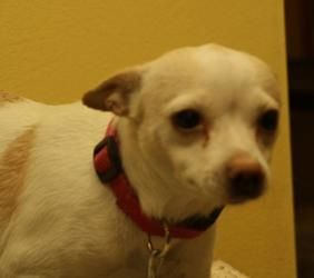 Trixie is an adoptable Rat Terrier Dog in Huron, SD. Trixie came to us from horrible living conditions. She has been spayed and is 10 pounds....
