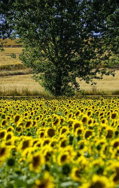 Sunflowers - Zamora, Castile and León, Spain