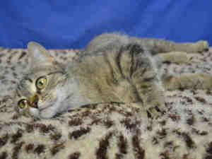 CORAL is an adoptable Domestic Short Hair Cat in Saint Louis, MO. CORAL IS A WONDERFUL CAT. SHE CAME TO US A STRAY THAT WAS NOT CLAIMED. SHE IS VERY SWEET AND LOVES TO HAVE HER HEAD SCRATCHED. SHE LIK...