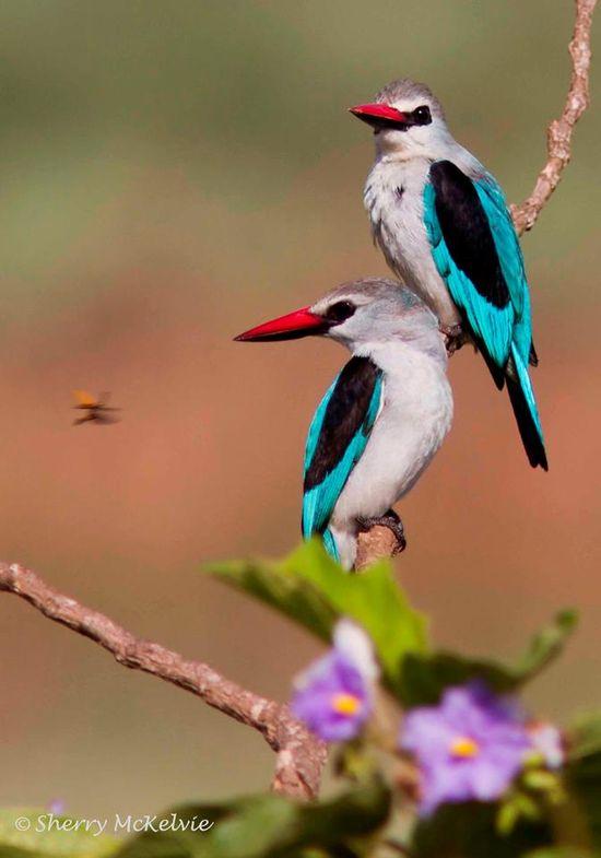 Woodland Kingfishers